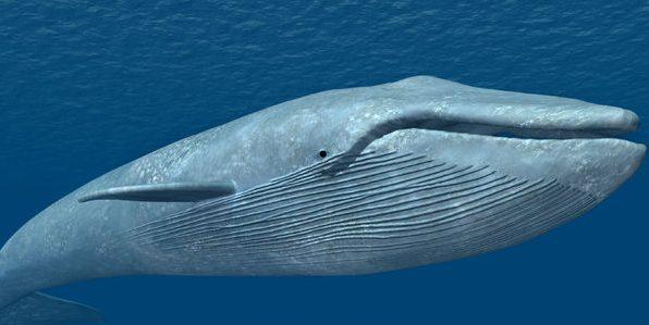 Blue whale Challenge juego de la ballena azul
